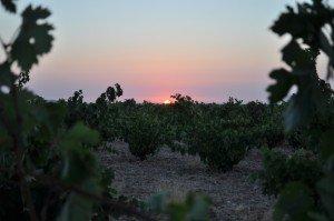 premiers coups de sécateurs au lever du soleil et il fait déjà 17° dans VINS D'ESPAGNE DSC_2441-300x199