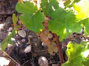 quelques pieds de raisin blanc